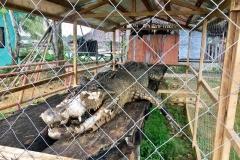 Del Carmen Crocodiles